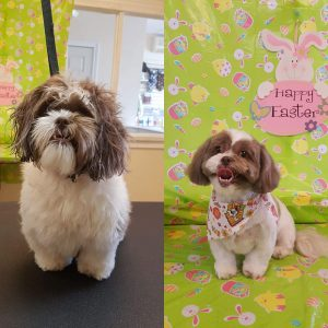 Pet Spaw, Havanese Professional Full Service Grooming, Trimming, Aurora, Toronto, Keswick, Newmarket