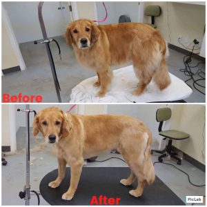 Golden Retriever Full Service Grooming Before and After